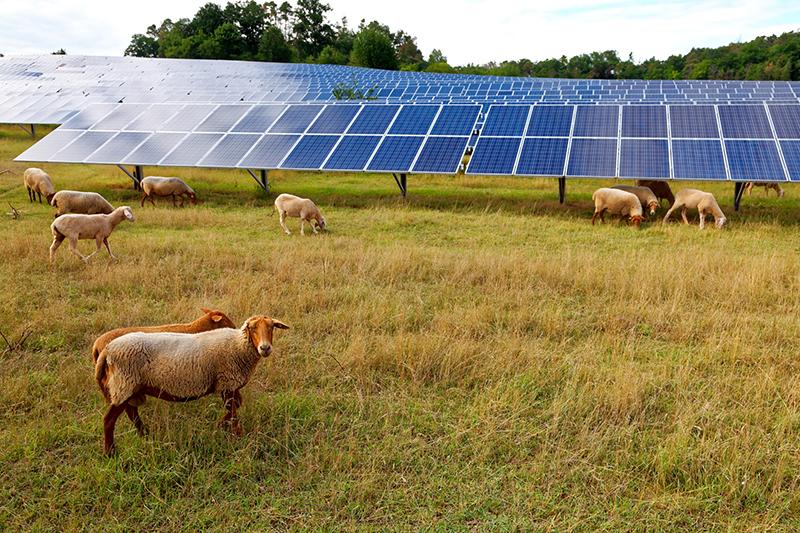 Får i en fårhage med en solelsanläggning på marken.